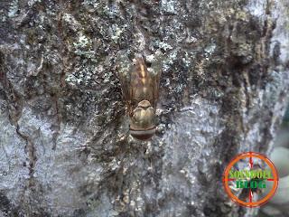 Lalat Besar atau Pitak