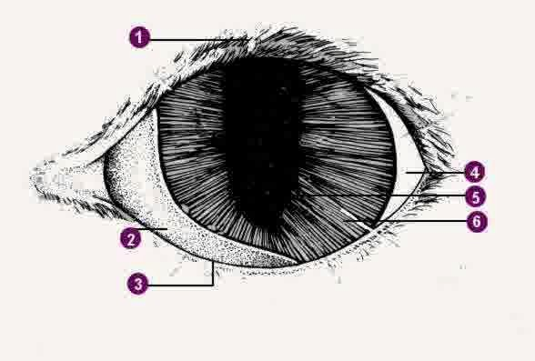 Mata Kucing Persia anatomi