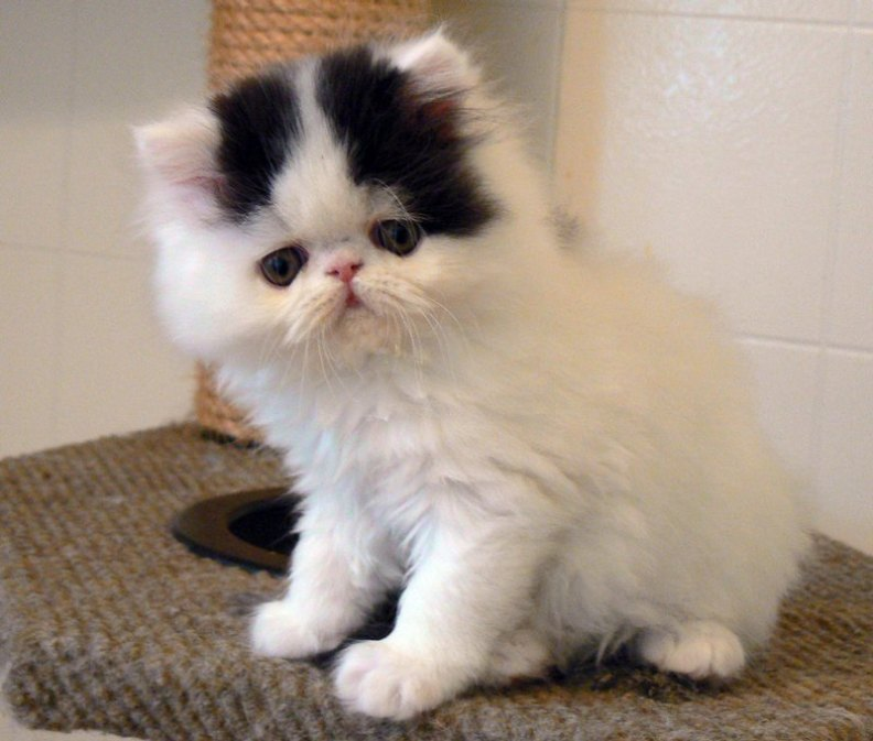 It when you have a healthy an attractive persian cat persian cats