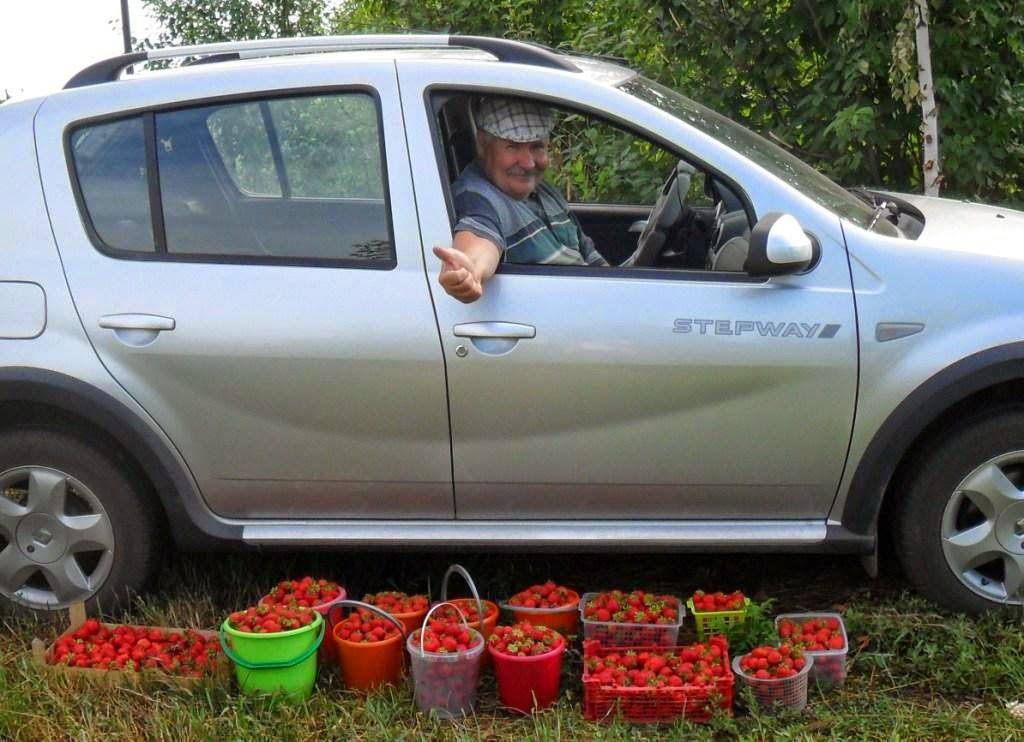 Разовый сбор ягод клубники около 50 л с 300 кустиков!