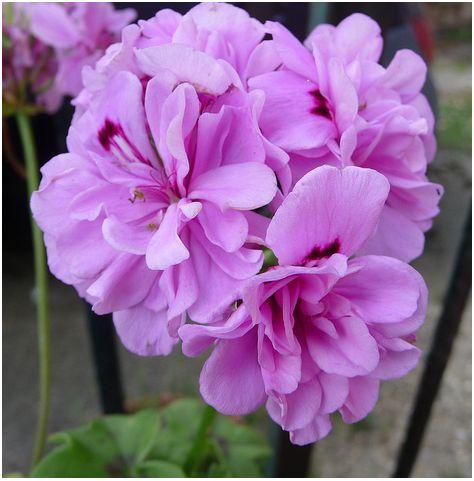 Il geranio aiutiamolo a fiorire for Geranio parigino