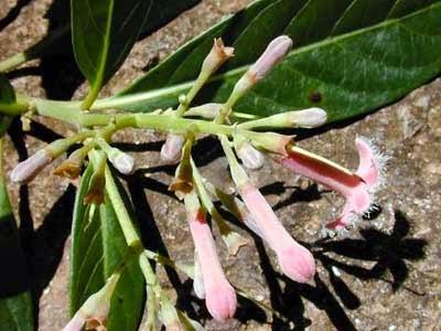 Cinchona flower