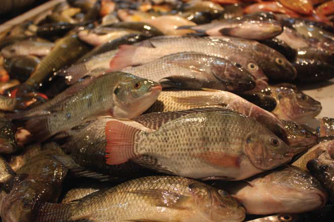 Asal-Usul dan Sejarah Ikan Mujair