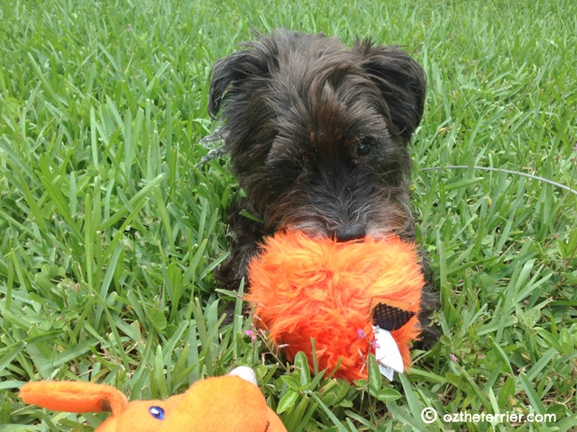 Oz the Terrier loves his goDog Furballz as seen in review on TTPM