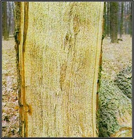 Hniloba dřeva