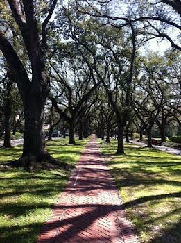 Majestic Pin Oaks in a Houston Neighborhood