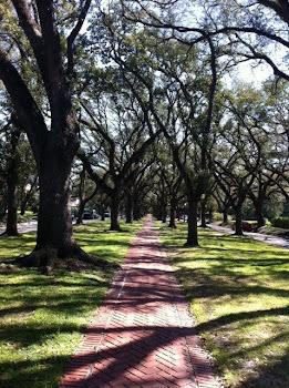 Majestic Pin Oaks in a Houston Neighborhood