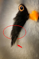 Bıyıklı baştankara Bearded tit Panurus biarmicus