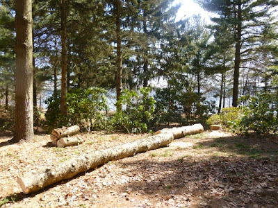 Old, crowded pine trees cut down and removed in public gardens, Mississauga.