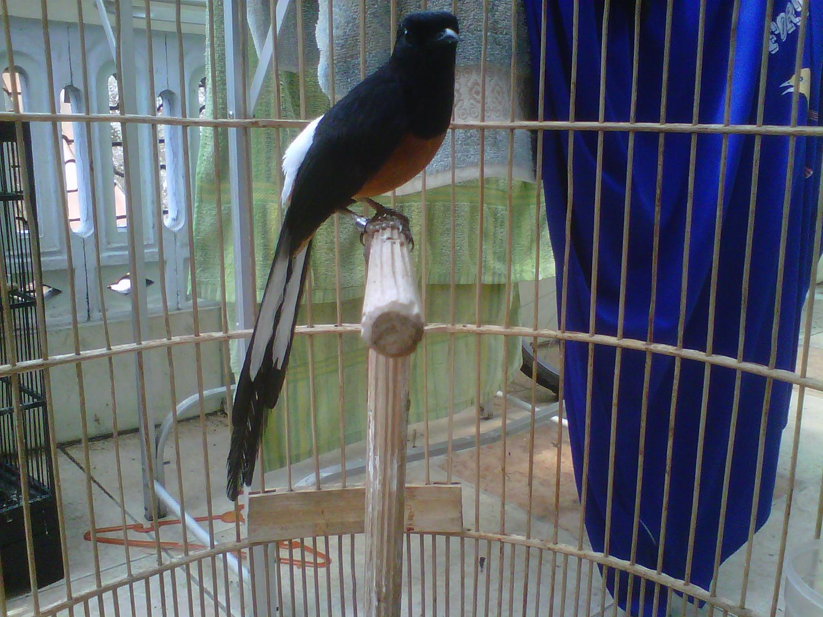 Peluang Bisnis Beternak Burung Murai Batu