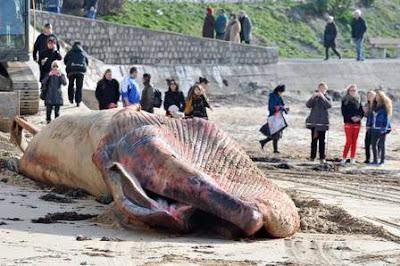 Baleia de 18 metros aparece morta em praia