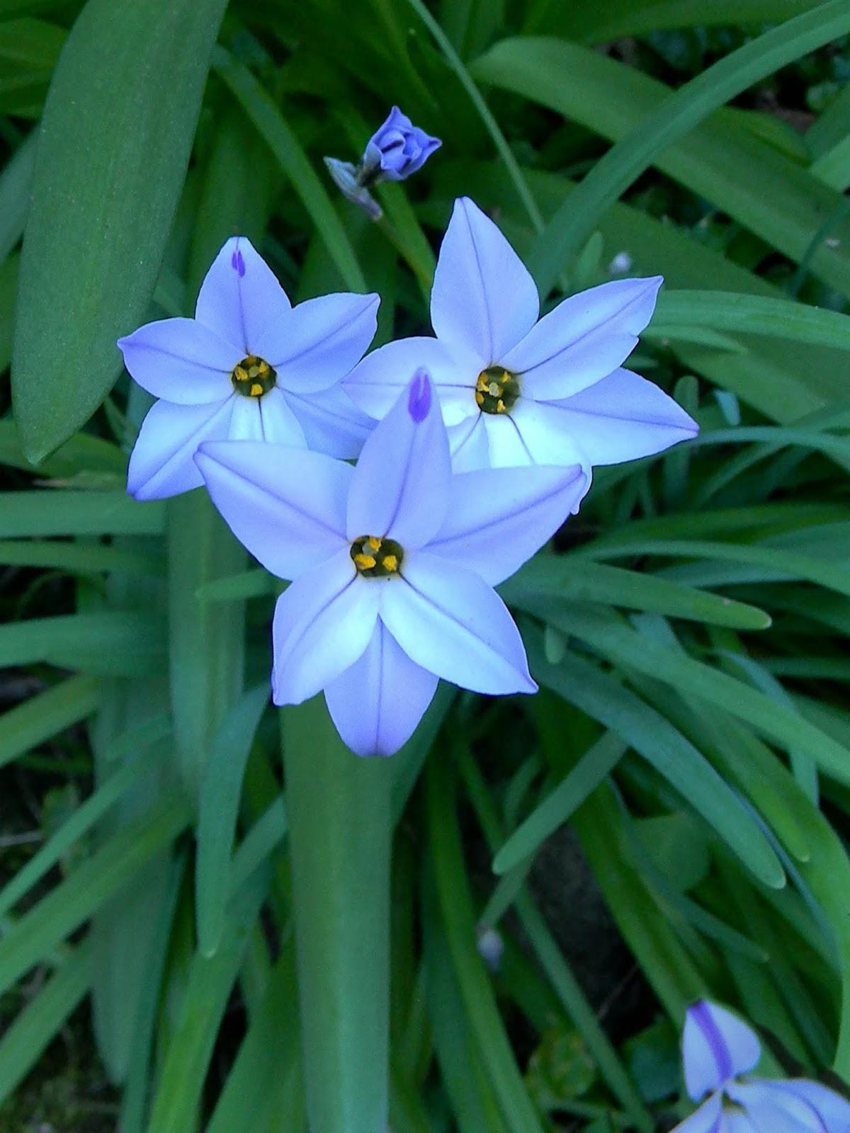 Flower Of The Day Blue Flower Of The Day Spring Starflower