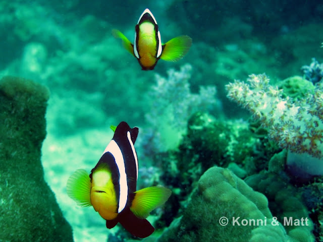 Nemo. Two-bar clownfish, sea anemone