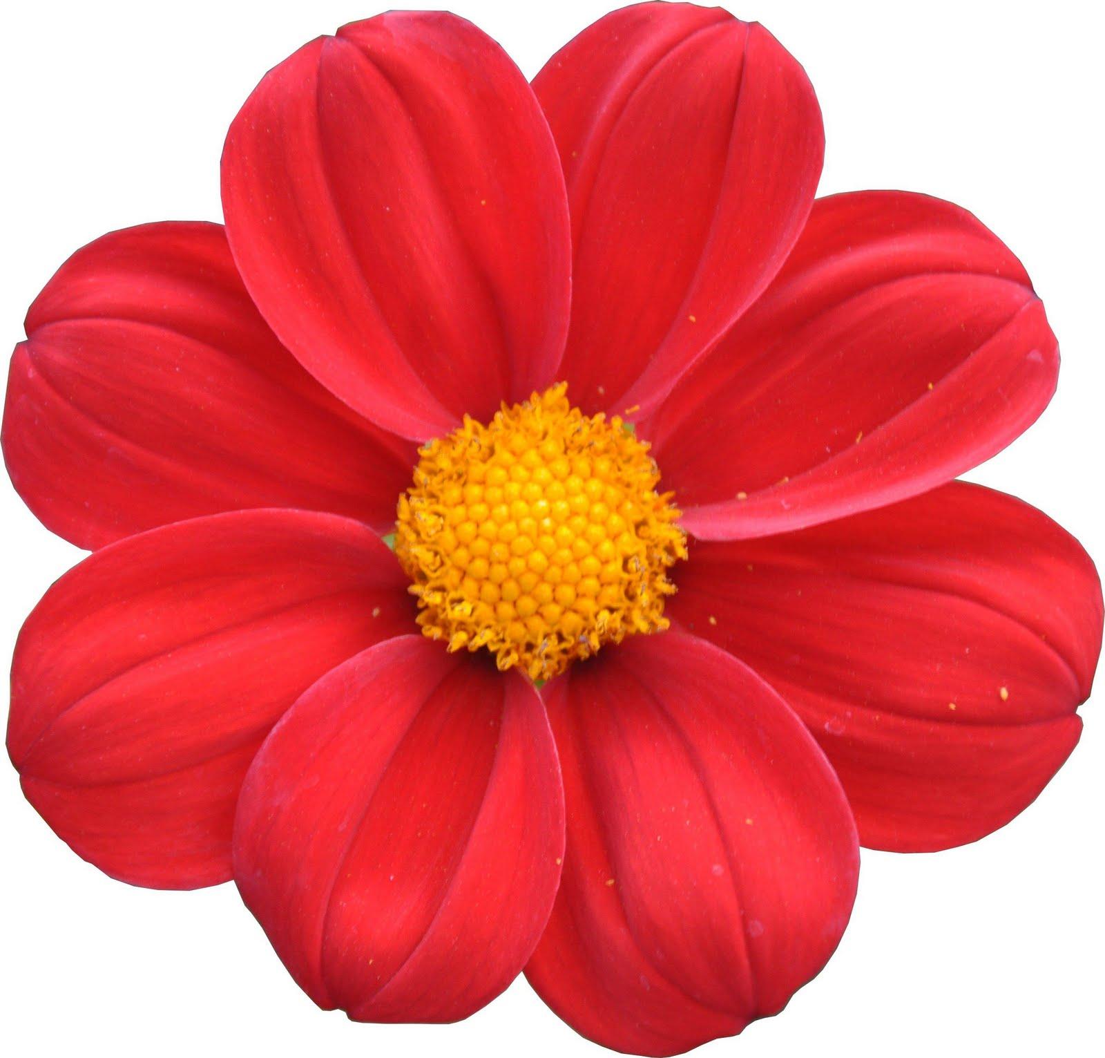 Qu 39 en pensez vous fleur rouge a bouton jaune photo et for Offre des fleurs