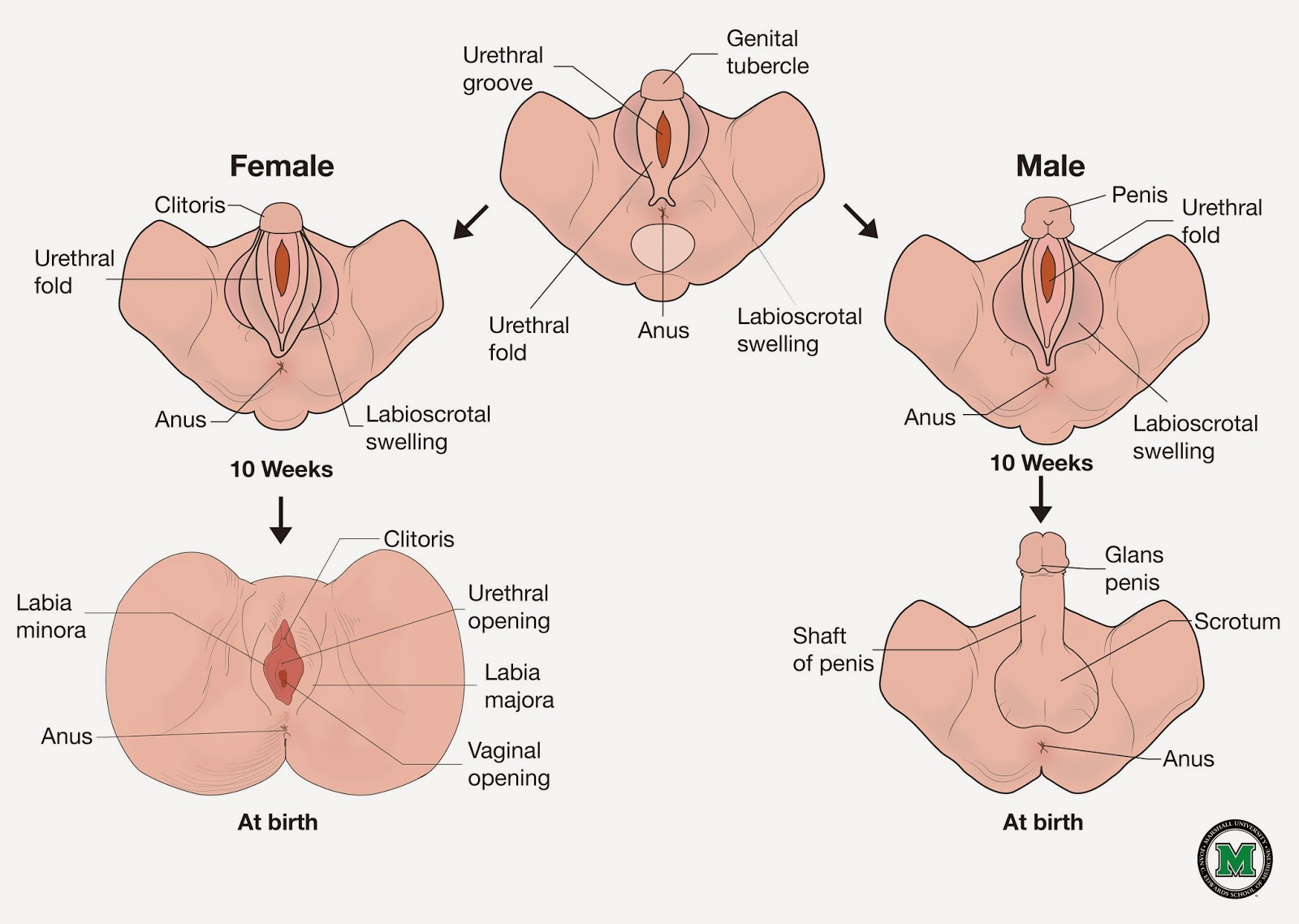 Lujoso Anatomía Genital Niña Inspiración - Imágenes de Anatomía ...