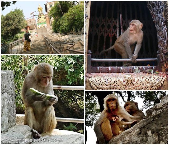 Macacos-Templo-Swayambhunath