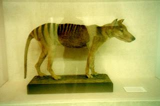 thylacine picture