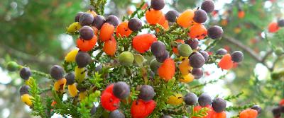 El árbol de 40 frutos