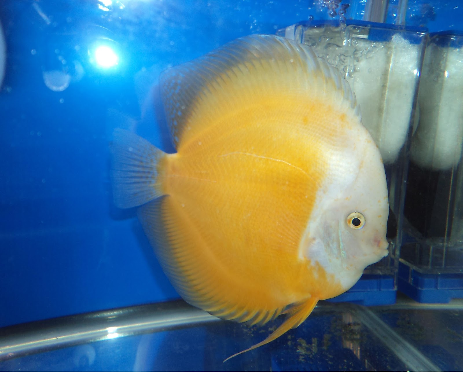 All about betta fish discus fish yellow crystal for All about fish