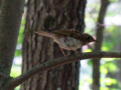 juvenile thrush