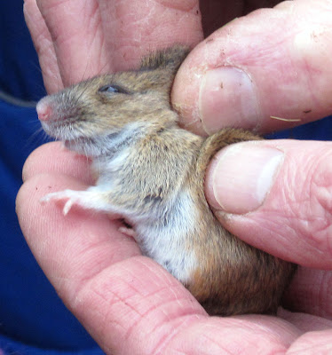 A wood mouse being held firmly but gently in Jubilee Country Park