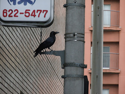 A crow in Tokyo