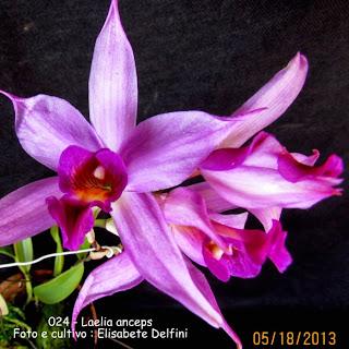 Cattleya anceps, Amalia anceps, Bletia anceps