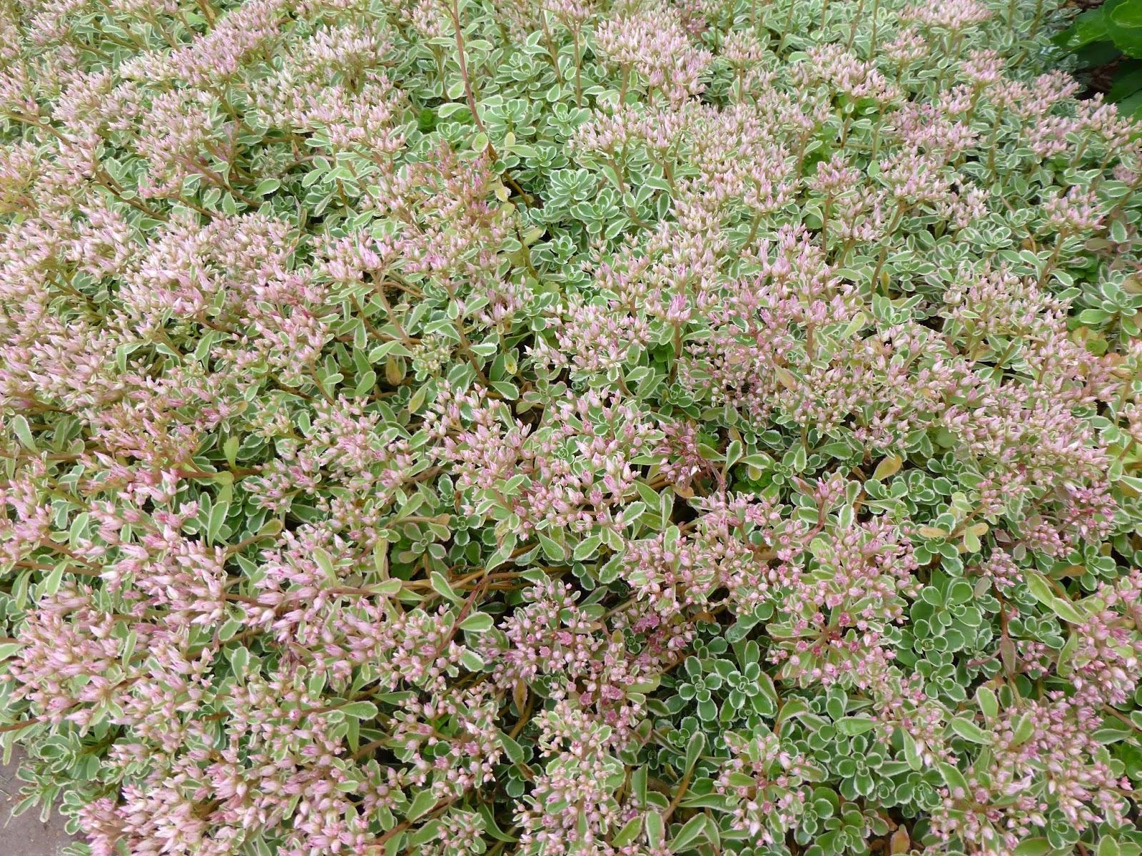Sedum spurium tricolor