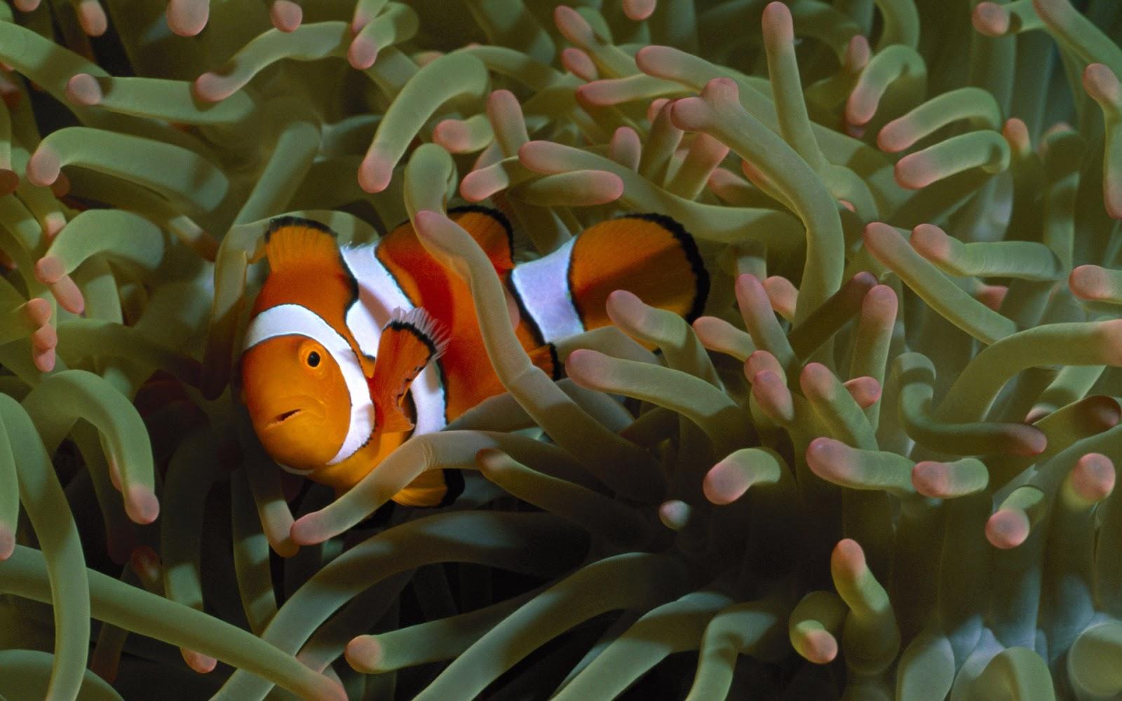 About clown fish nemo fish clown fish for Clown fish scientific name