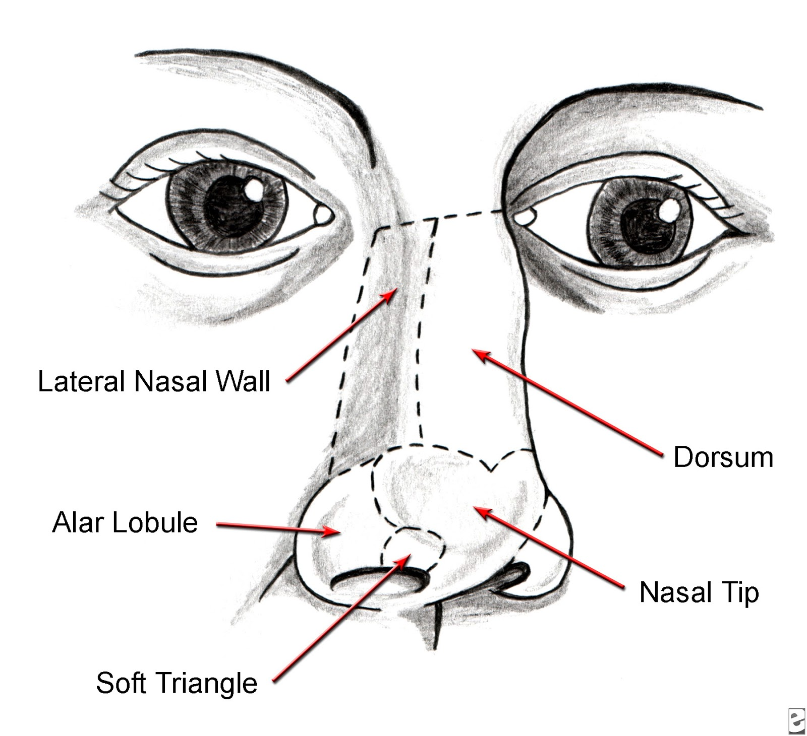 external nose anatomy diagram  external  free engine image