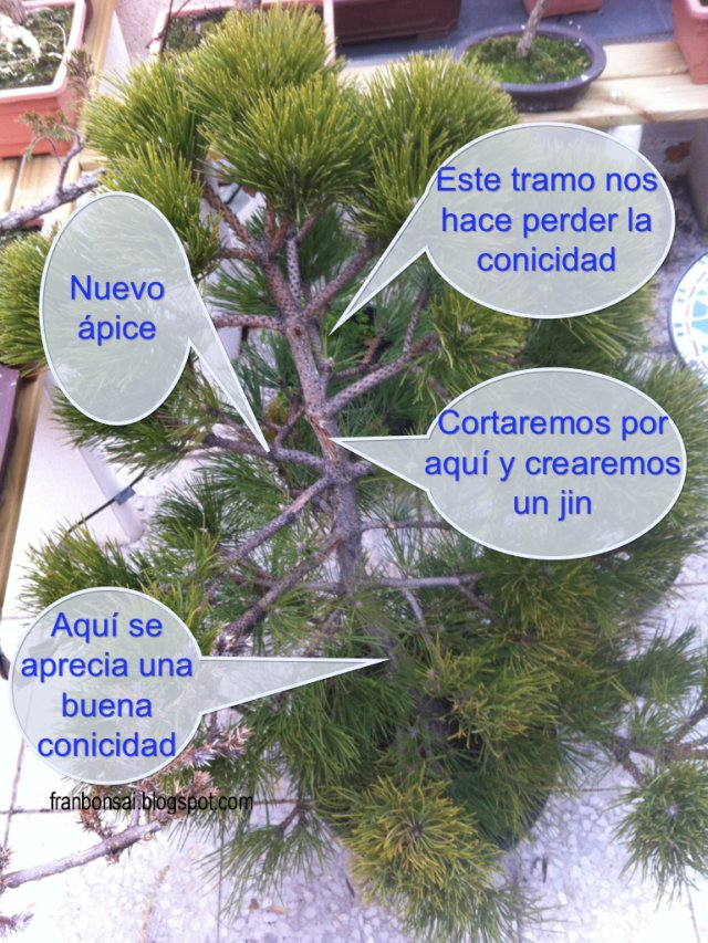 Fran bonsai el pino la maceta y el bonsai for Como iniciar un vivero