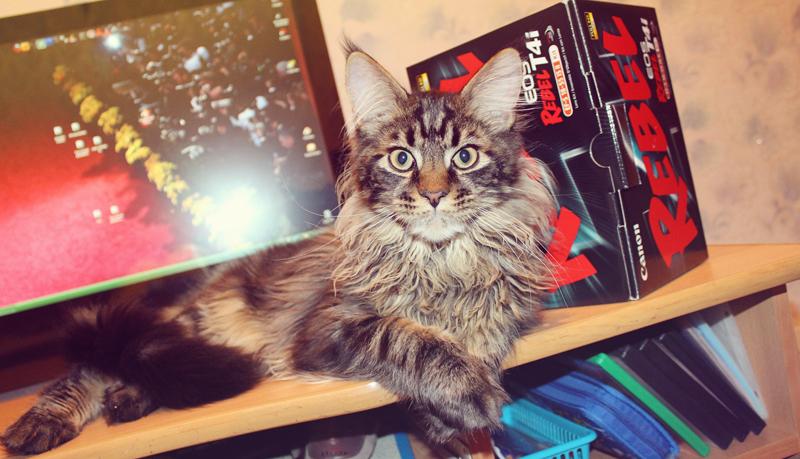 Jacob, Maine Coon, cat