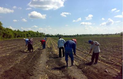 Pasto maralfalfa chilmaral altos rendimiento en forraje for Zacate de invierno