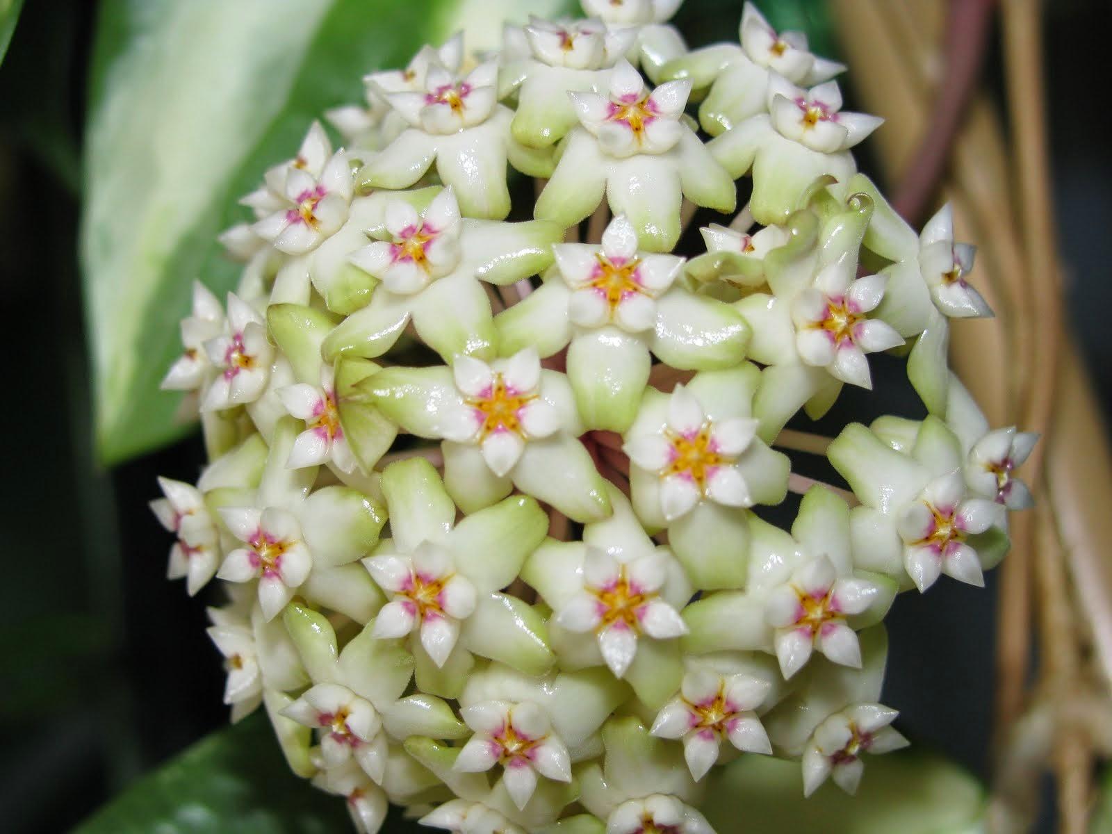 hoya parasitica variegata