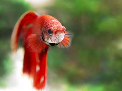 The Most Beautiful Goldfish Pictures Free