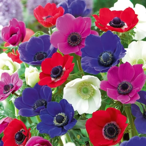 https://www.etsy.com/listing/161756433/anemone-bulbs-anemone-de-caen-windflower?ref=favs_view_2