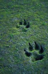 Las hueyas de un lobo (;