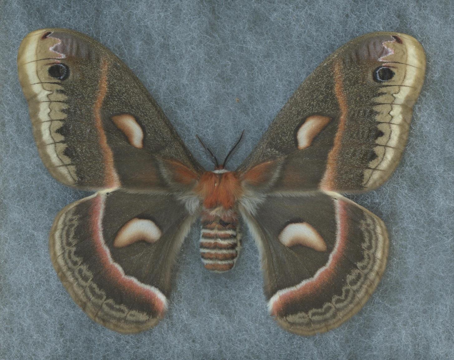 Cecropia moth tattoo