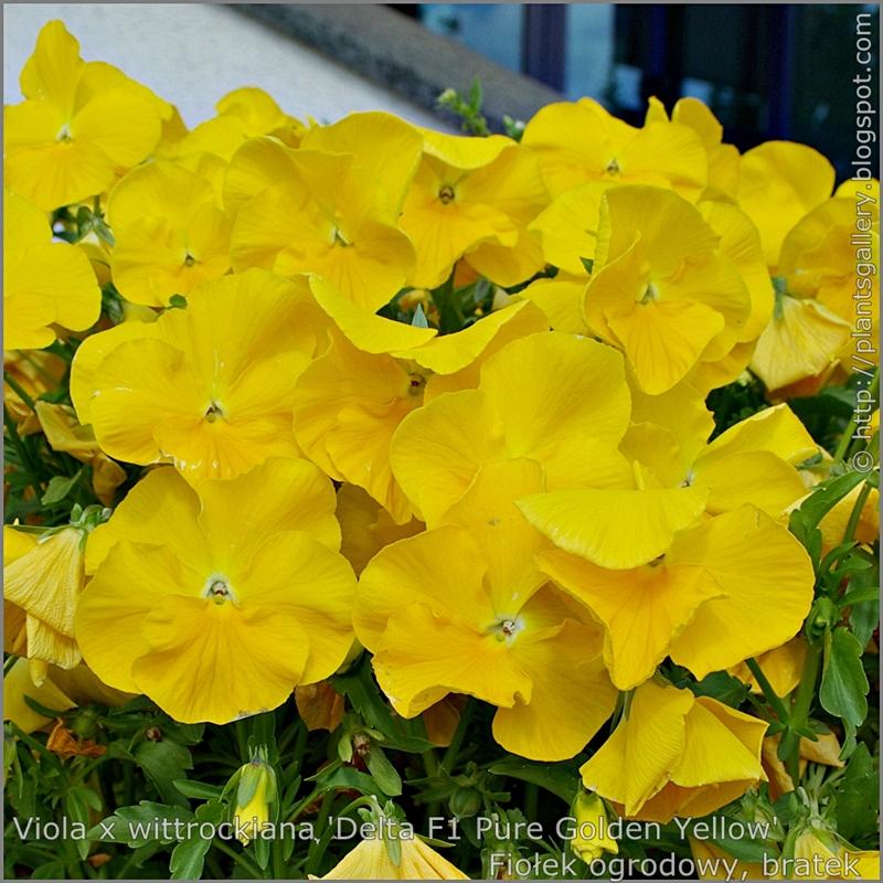 Viola x wittrockiana 'Delta Pure Golden Yellow' - Fiołek ogrodowy, bratek kwiaty