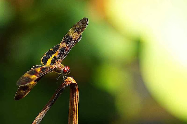 black and gold dragonfly