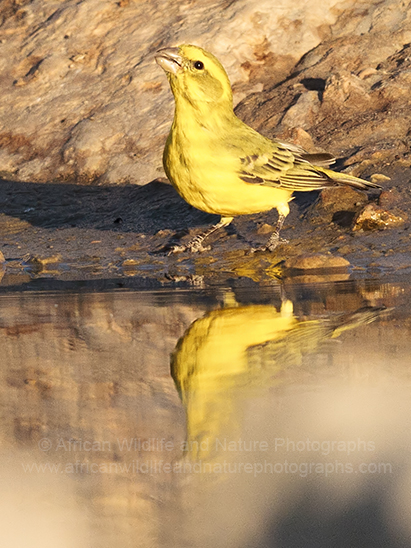 Yellow Canary (Serinus flaviventris)