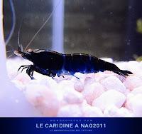 Фотографии креветок с конкурса «NaQ Caridine Contest 2011»