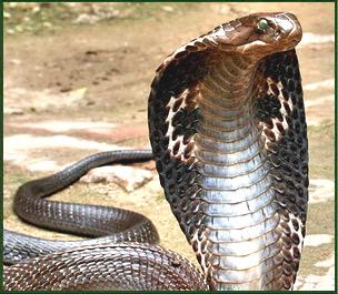 king cobra snake king cobra eating king cobra eating another snake    King Cobra Eating Another Snake