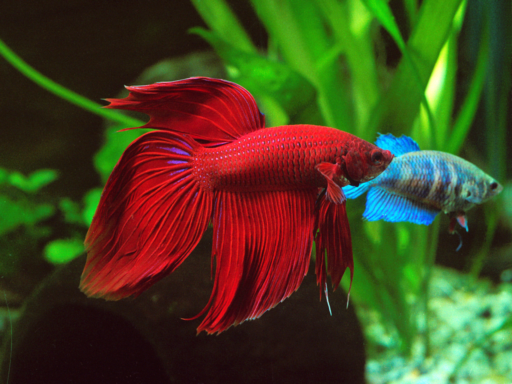 Mirando el agua betta for How long do fish stay pregnant