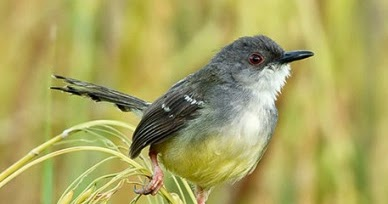 Budidaya Burung Mengenal Burung Ciblek Jawa Jantan Dan