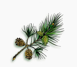 Pine Illustration