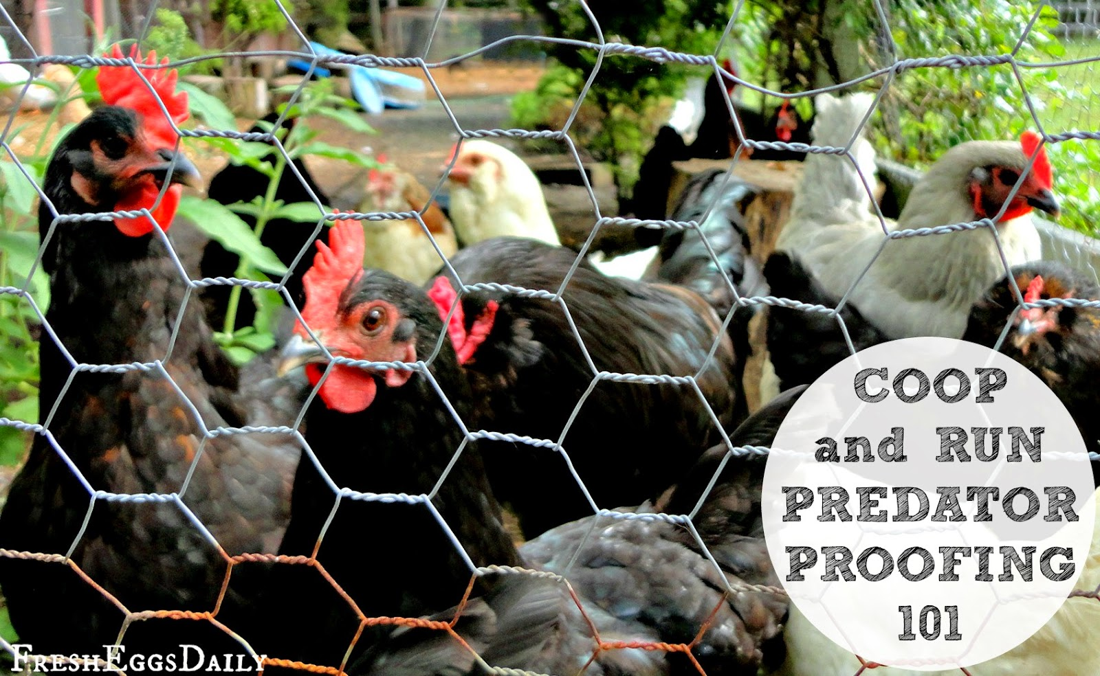 chicken coop predator proofing 101 how to keep your chickens safe