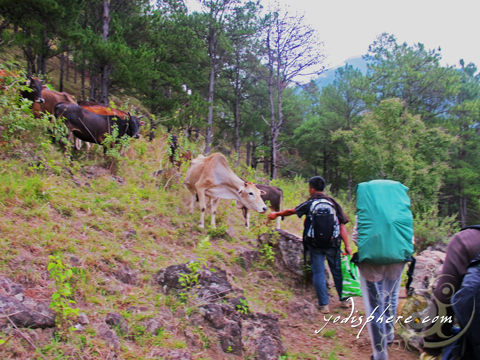 Cows grazing at the grassland of Benguet at the Akiki Trail of Mt. Pulag