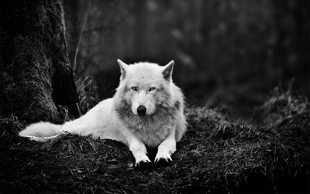 Beautiful Black And White Wolf Wallpaper In The Forest