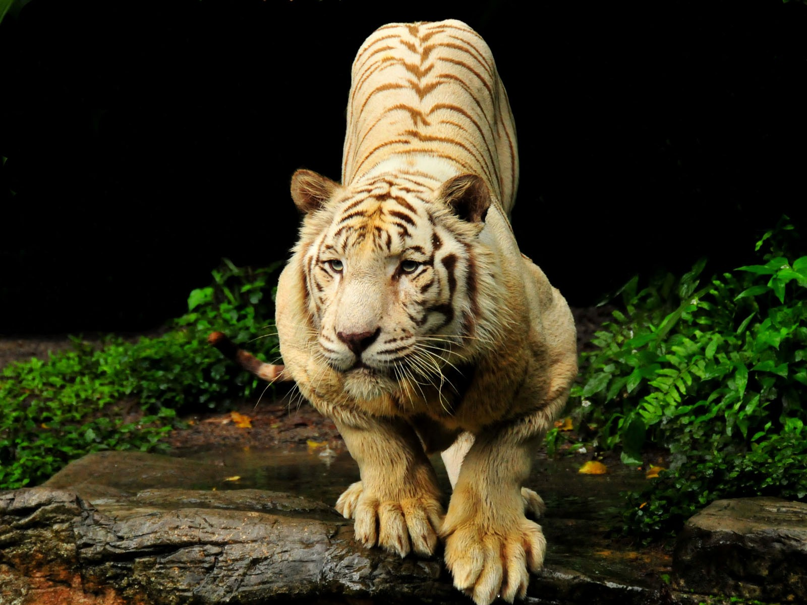 Tiger hd wallpapers hd wallpaper - Tiger hd wallpaper for pc ...
